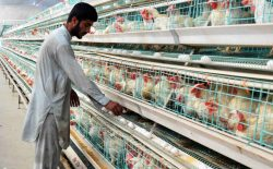 آنفولانزای مرغهای ایرانی به رشد سکتور مرغداری در هرات منجر شد