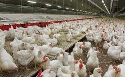 وزارت زراعت: از لغو ممنوعیت واردات گوشت مرغ، سوء استفاده نشود
