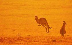 بیش از یک میلیارد حیوان و پرنده در آتشسوزی استرالیا تلف شدند