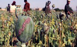 کاخ سفید: تولید تریاک خالص در افغانستان افزایش یافته است