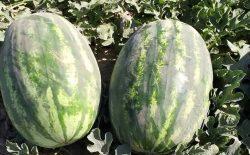 وزارت زراعت: حاصلات تربوز کندز امسال به بیش از ۱۰۰ هزار تُن میرسد