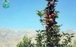 احتمال افزایش ۳۳ درصدی حاصلات سیب بامیان در سال جاری