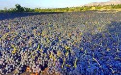 وزارت زراعت: فرآوردههای انگور فاریاب در سال جاری به بیش از ۶۸ هزار تُن میرسد