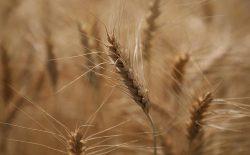 حاصلات گندم افغانستان در سال جاری به ۵٫۱ میلیون تُن رسید