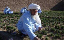 بابای زعفران افغانستان درگذشت