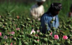 طالبان هزینهی جنگ را از مواد مخدر بهدست میآورند