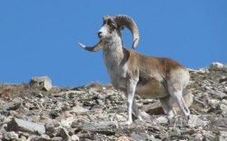 افزایش شکارهای خودسر در بدخشان و نگرانی از نابودی حیوانهای کمیاب