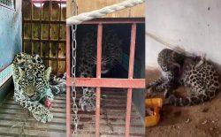 خطر انقراض گونههای کمیاب حیوانی؛ ماجرای پلنگی که در لغمان گرفتار و به باغوحش کابل آورده شد